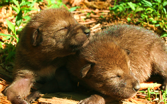 Red Wolf Pups - Courtesy of FWS.gov